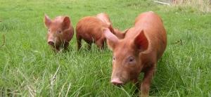 Tamworth Pigs Enjoying Fresh Air