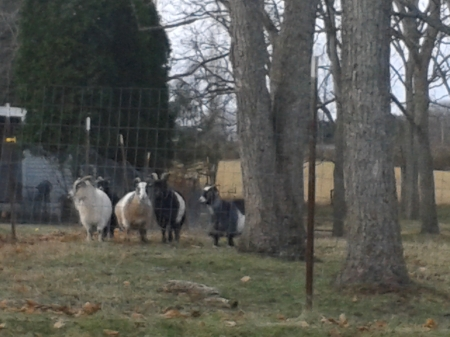 These have to be the goats that were in the cemetery when we first visited the house.